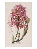 Lithograph of Orchids: Laelia Superbiens