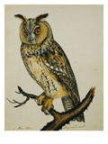 A Long-Eared Owl (Strix Otus)