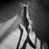 Young Kangaroo and Shadows