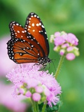Queen Butterfly on a Pink Flower