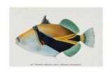 Postcard of Balistapus Rectangularis Fish