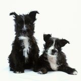 Two Terrier Puppies