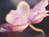 Japanese Anemone Blossom