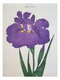 Kyo-Nishiki Book of a Purple Iris