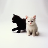 Black Kitten and White Kitten