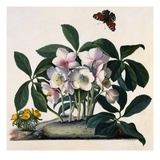 Helleborus Niger  Rose and Butterfly Lithograph