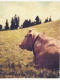Alpine Cow 2