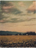 Skagit Daffodils 2