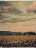 Skagit Daffodils No2