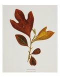 Illustration of Sassafras Leaves