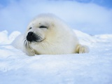 Harp Seal Pup Sleeping