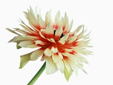 White and Red Chyrsanthemum