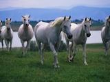 Arabian Horses Walking in Pasture