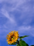 Sunflower Under Sky