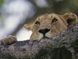 Face of African Lioness in Tree