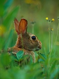 Cottontail Rabbit in the Grass
