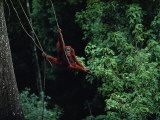 A Subadult Male Orangutan Uses Vines to Swing from Tree to Tree