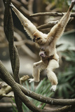 A White-handed Gibbon Carrying Her Baby Through the Tree Tops