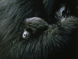 A baby mountain gorilla is cuddled by her mother