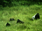 A gorilla family wander in the Mbeli Bai clearing in tall grasses
