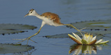African Jacana (Actophilornis Africana) Chick Running Between Water Lily Pads