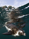 African Penguin (Spheniscus Demersus) Diving Underwater  False Bay  Cape Town  South Africa
