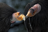 California Condors (Gymnnogyps Californicus) Interacting Captive Endangered Species