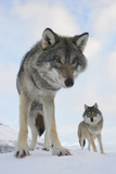 Wide Angle Close-Up Of Two European Grey Wolves (Canis Lupus)  Captive  Norway  February