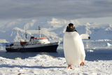 Gentoo Penguin (Pygoscelis Papua) And Antarctic Cruise Liner 'Mv Ushuaia' In Neko Harbour