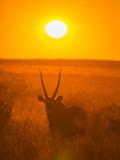 Gemsbok (Oryx Gazella) Silhouetted At Dawn  Kalahari Desert  Botswana