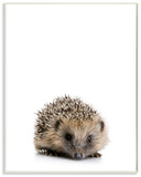 Baby Hedgehog Studio Photo