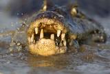 Spectacled Caiman (Caiman Crocodilus) Feeding On Fish  Pantanal  Brazil