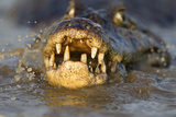 Spectacled Caiman (Caiman Crocodilus) Feeding On Fish, Pantanal, Brazil Papier Photo par Chris & Monique Fallows