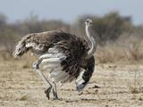 Ostrich [Struthio Camelus] Courtship Display By Female  Etosha National Park  Namibia  August