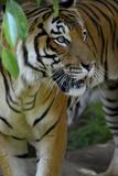 Malayan Tiger (Panthera Tigris Jacksoni), Malaysia Papier Photo par Daniel Heuclin