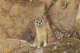 Mountain Weasel (Mustela Altaica) Lhasa City  Qinghai-Tibet Plateau  Tibet  China  Asia