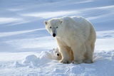 Polar Bear (Ursus Maritimus) Female Coming Out The Den With One Three Month Cub