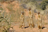 Yellow Mongooses (Cynictis Penicillata) Standing Alert  Kgalagadi National Park  South Africa