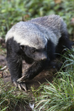 Honey Badger Or Ratel  Mellivora Capensis  Captive  Native To Africa