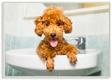 Goldendoodle Puppy Sink Playtime
