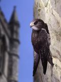 Digital Composite Common - European Swift (Apus Apus) Adult Clinging To A Building  UK