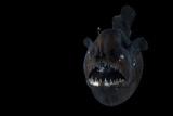 Angler Fish (Melanocetus Murrayi) Mid-Atlantic Ridge  North Atlantic Ocean