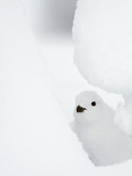 Female Willow Grouse - Ptarmigan (Lagopus Lagopus) Looking Out From Behind Snow