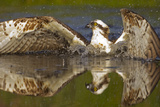 Osprey (Pandion Haliaetus) At Surface Of A Loch After Diving For A Fish