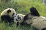 Giant Panda (Ailuropoda Melanoleuca) Mother And Young Playing  Captive  Sichuan  China Non-Ex