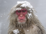 Japanese Macaque (Macaca Fuscata) Mother Holding Her Baby In Snowstorm  Jigokudani  Japan