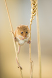 Harvest Mouse (Micromys Minutus) On Wheat Stem Feeding  Devon  UK  July Captive