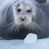 Bearded Seal (Erignathus Barbatus) Hauled Out On Ice  Spitsbergen  Svalbard  Norway  September