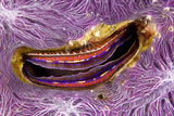 Bivalve Scallop (Pedum Spondyloideum) Inside A Coral Covered With Purple Sponge