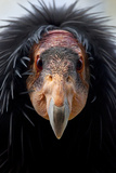California Condor (Gymnogyps Californianus)  Iucn Critically Endangered  Captive